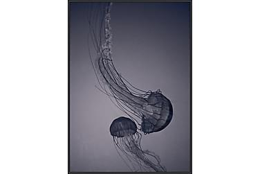 Jellyfish Bilde
