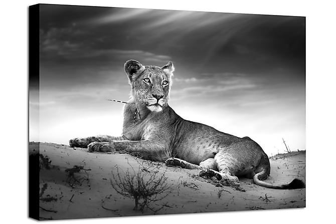 Bilde Canvas Lioness - 75x100 - Innredning - Veggdekorasjon - Lerretsbilder