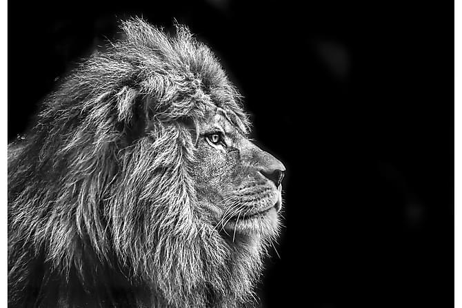 Kanvas Lion - 70x100 cm - Innredning - Veggdekorasjon - Lerretsbilder